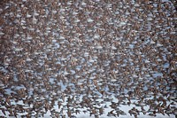 Large migrating flock of mostly Western Sandpipers in flight over the Copper River Delta, near Cordova, Southcentral Alaska, Spring