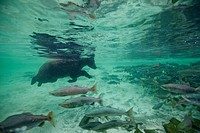 Underwater view of Grizzly Bear swimming after spawning salmon in Kuliak Bay, Katmai National Park & Preserve, Southwest Alaska, Summer