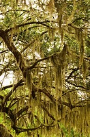 USA, South Carolina, Charleston, Oak trees with spanish moss