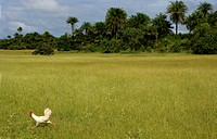 Africa, Guinea_Bissau, Chicken running around park