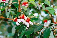 spring flowers of feijoa on the tree