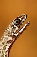 juvenile Montpelier Snake Malpolon monspessulanus