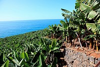 banana tree and banana fruit on tree on the island of Madeira, Portugal, Europe