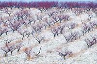 tree of peach