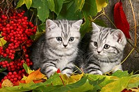 Cat, Brittish shorthair, autumn.