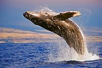 Humpback Whale, Megaptera novaeangliae, breaching under golden sunset light, Hawaii, USA, Pacific Ocean
