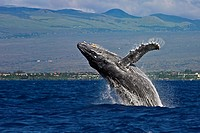 humpback whale, Megaptera novaeangliae, breaching, Kohala Mountain in background, note rare gray body coloration for adult whale, Hawaii, USA, Pacific...