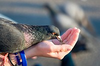 Pigeon is eating crumbs from woman hand