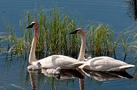 Pair of Trumpeter Swans and chicks swim in a lake in the Yukon Territory, Canada, Summer