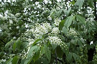 Tree bird cherry after rain