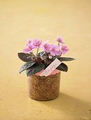 Pink violet in plant pot
