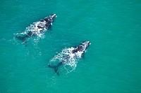 Aerial view of Southern Right Whales Eubalaena australis, near Cape Agulhas, Western Cape Province, South Africa