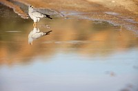 A low angle view of a Pale Chanting Goshawk wading through water, Kgalagadi Transfrontier Park, Northern Cape Province, South Africa