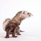 Studio portrait of ferret