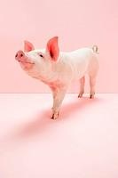 Piglet in pink studio