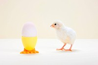 Chick looking at egg in eggcup, studio shot