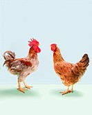 Rooster and hen standing in studio