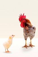 Rooster standing with chick in studio