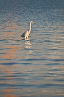 Great White Heron - Casmerodius albus, Crete
