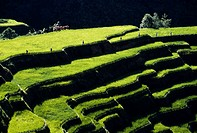 Rice farmers walk along the sculptured terraces.