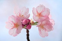 Close_up of cherry blossoms, Tokyo Prefecture, Honshu, Japan