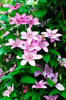 Flowers of clematis over green background