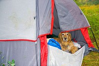Golden retriever dog in a tent, Lake Alice, Wyoming, USA