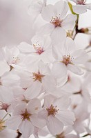 Blossoming Branch of Japanese Sakura Cherry. Flower Pattern