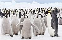 Snow Hill Island, Antarctica Aptenodytes forsteri