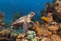 Underwater Life, Reptiles: A young Hawksbill Sea Turtle Eretmochelys imbricata swimming over a tropical coral reef. Caribbean Sea, Grand Cayman Island...
