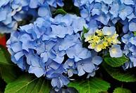 Blue Hydrangea Hortensia