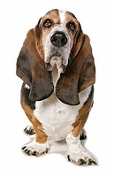 Basset Hound _ sitting _ cut out