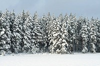 Group of snowy trees