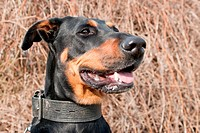 portrait of a black doberman