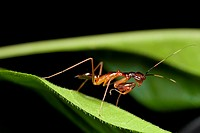 Ant mimic mantis found at Kampung Skudup, Sarawak, Borneo