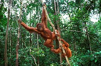 Orang Utan, pongo pygmaeus, Female with Young Hanging from Branch, Borneo