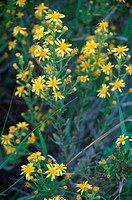 Saint Johns Wort in meadow