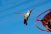 Flying Hummingbird in Palm Springs California