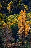 An Aspen aglow in the San Juan Mountains along the Lizarhead Pass