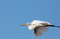 Great Egret, laguna de Unare, Venezuela