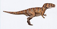 Carcharodontosaurus saharicus. This dinosaur lived in Morocco, Tunisa, Algeria, Libya and Niger between the Albian and Cenomanian stages of the late c...