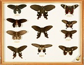 Wallace Collection butterfly specimens. Drawer containing butterflies collected and mounted by the British naturalist Alfred Russel Wallace 1823_1913....