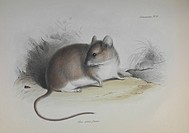 Gray leaf_eared mouse Graomys griseoflavus. Artwork of a South American rodent observed by the British naturalist Charles Darwin during the survey voy...