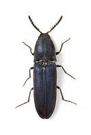 Violet click beetle Limoniscus violaceus