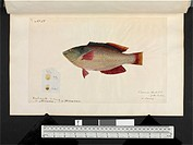 Common rock fish. Illustration from ´Original water colour drawings of Mammals, Reptiles and Fish found at King Georges Sound, Western Australia, and ...