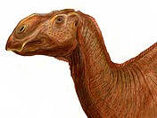 Brachylophosaurus canadensis. This dinosaur was notable for the bony crest on its skull.