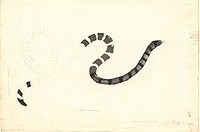 Sea snake Coluber laticaudatus. This watercolour was made by the German naturalist George Forster 1754_1794 during Captain James Cook´s second voyage ...