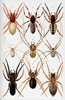 Spiders of Britain and Northern Europe. This artwork is part of a series by Michael J. Roberts. The original artworks are held at the Natural History ...