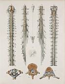 Spinal cord anatomy. These anatomical artworks form plate 10 from volume 3 1844 of ´Traite complet de l´anatomie de l´homme´ 1831_1854. This 8_volume ...