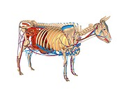 Cow anatomy. Computer artwork showing the internal anatomy of a domesticated cow Bos primigenius. Anatomical features shown here include the skeleton,...